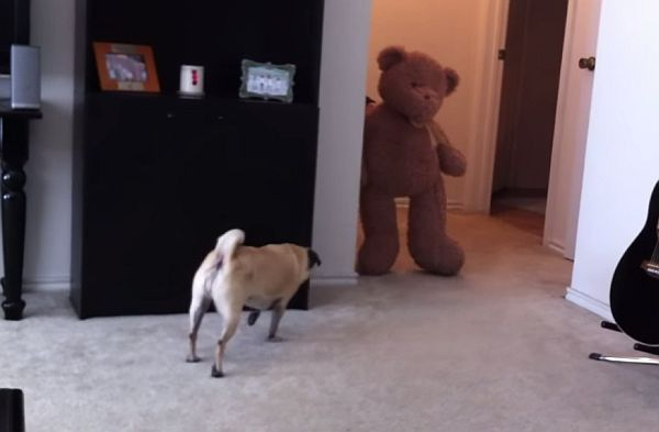 The Result of Scaring a Pug with a Teddy Bear is Quite a Mess