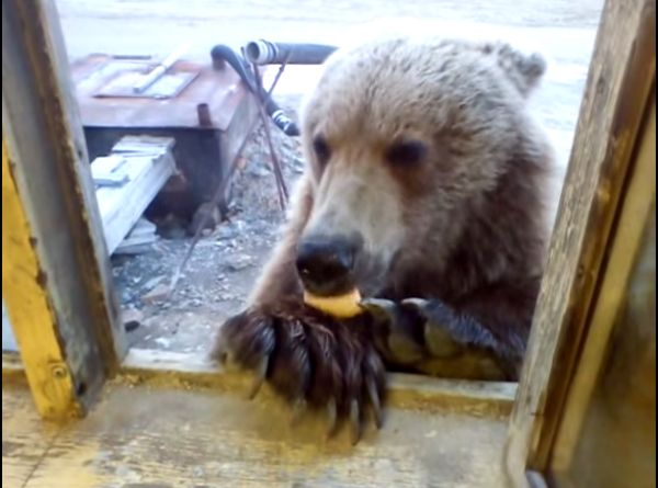 Man in Russia Feeds Wild Bear Cookies Through His Window